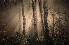 Burning Through (Glenn D Reay) Tags: woodland woods silverbirch mist misty waldridgefell chesterlestreet pentaxart pentax k30 sigma1770hsm glennreay congburnwood