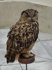 DSC07636 (guyfogwill) Tags: 2018 birds brandonsbirthday devon eurasianeagleowl gbr guyfogwill may owls paignton unitedkingdom paigntontorquay