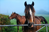 Ben II (meniscuslens) Tags: ben transwales trails welsh cob section d horse pony gate field paddock bay mist wales