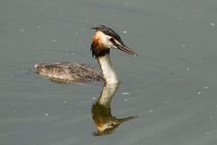GREAT CRESTED GREBE (_jypictures) Tags: animalphotography animals animal canon canon7d canonphotography wildlife wildlifephotography wiltshire nature naturephotography photography pictures birdphotography bird birds birdwatching birding birdingphotography birders greatcrestedgrebe grebe ukwildlife ukbirds ukbirding