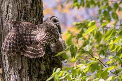 Barred Owl delivering food (NicoleW0000) Tags: barredowl baby owl owlet branching woods tree leaves nature wild wildlife outdoors wildlifephotography ontario bird birdofprey