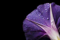 V (headcycle) Tags: flower macro purple water drops drop nature flora petunia minimal minimalism petal canon details gradient dew droplets raindrop