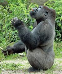 western lowlandgorilla Ouwehands BB2A6641 (j.a.kok) Tags: gorilla westelijkelaaglandgorilla westernlowlandgorilla lowlandgorilla laaglandgorilla animal afrika africa aap ape mammal monkey mensaap primate primaat zilverrug silverback zoogdier dier ouwehands