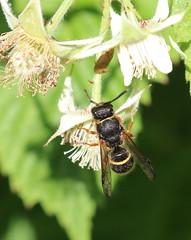 Help with ID please? (themadbirdlady) Tags: hymenoptera wasp