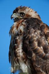 _RDX9850.jpg (rdelonga) Tags: buteojamaicensis redtailedhawk
