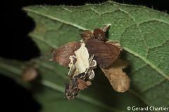 Case-bearing Moth (Psychidae) (GeeC) Tags: animalia arthropoda bagwormmoths butterfliesmoths cambodia casebearingmoths insecta kohkongprovince lepidoptera nature nightwalk psychidae rainbowlodge tatai tineoidea