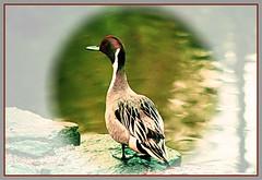 Northern Pintail Duck (Anas acuta) (FernShade) Tags: vancouver stanleypark lostlagoon northernpintail duck bird avian waterbird nature wildlife anasacuta