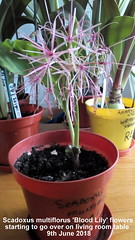 Scadoxus multiflorus 'Blood Lily' flowers starting to go over on living room table  9th June 2018 (D@viD_2.011) Tags: scadoxus multiflorus blood lily flowers starting go over living room table 9th june 2018