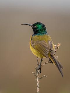 Orange-breasted Sunbird (Anthobaphes violacea)