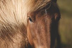 Íslenski hesturinn (shimizacken) Tags: ifttt 500px iceland ísland summer horse icelandic íslenski hesturinn eys intimate portrait brown hair