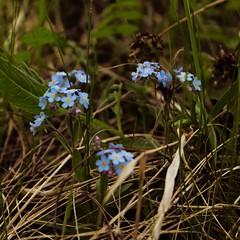 Forget-Me-Nots #forgetmenot #flowers #summer #nature #urals #russia #canon_eos_77d #kitlens #efs1855mm #psexpress (N.A. Dikin) Tags: forgetmenot flowers summer nature urals russia canoneos77d kitlens efs1855mm psexpress