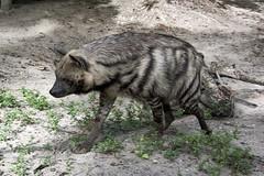 On the go (ucumari photography) Tags: ucumariphotography stripedhyena hyaenahyaena animal mammal naples florida fl zoo may 2018 dsc9310