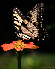 Eastern Tiger Swallowtail on Orange Mexican Sunflower.jpg (Stan in FL) Tags: orangemexicansunflower eastern tiger swallowtail butterfly nature nikon d810 tamron 90mm macro flowers