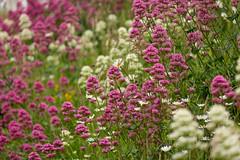Hillside Bloom (Future-Echoes) Tags: 2018 bokeh depthoffield dof dovercastle flowers hillside kent nature dover england unitedkingdom gb
