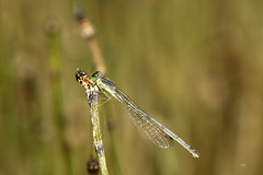 Agrion vertical (F) / Eastern Forktail (F) (alainmaire71) Tags: insect odonata odonate damselfly demoiselle coenagrionidae ischnuraverticalis agrionvertical easternforktail nature quebec canada bokeh maraisléonprovancher