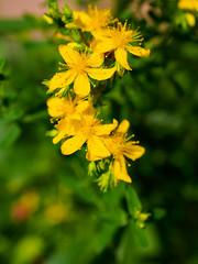 St. John's Wort flowers (Raoul Pop) Tags: garden morning home stjohnswort color flowers yellow spring