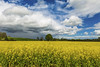 Yellow fields_G5A5047_1229 (ronniefleming@btinternet.com) Tags: ronnieflemingdrumpellierml51ry perthshire ph31fy rapeoilseed yellowfields harvest crops fence gate clouds skies