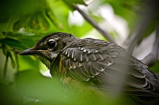 Perched Deep Within:  American Robin Fledgling Awaits its Next Serviceberry Feeding from Its Parents