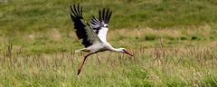 Fly (ulbespaans) Tags: ooievaar stork storch cigogne vliegen vleugels natuur vogels birds wings