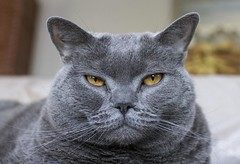 Molly (Luckyquebec) Tags: chat cat katz gato chartreux regard look eyes