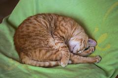 IMG_3992 Rubio, Mallorca (Fernando Sa Rapita) Tags: rubio sarapita mallorca canon canoneos eos6d cat gato mascota pet