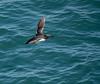 guillemot 158_717 (Baffledmostly) Tags: birds pembrokeshire scomer wales actions flying guillemot