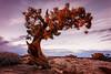 Dead Horse Tree (KPortin) Tags: htt tree deadhorsepointstatepark utah sunset