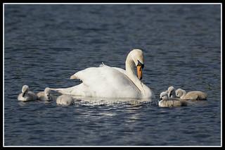 IMG_0006 Mute Swan