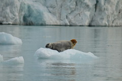 Bearded Seal (mcoughlin) Tags: svalbard arctic seal beardedseal sea ice