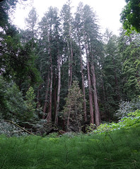 As Above, So Below (verysubmm) Tags: green horsetails trees redwoods
