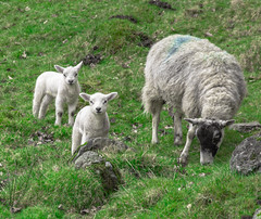 Who's That? (StevePilbrow) Tags: skelwith bridge national trust lamb sheep mother grass young lake district park cumbria lakes north west england country side water walking trees hill pike nikon d7200 nikkor 18105mm march april 2018