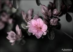 Azalea... (angelakanner) Tags: canon70d lensbaby twist60 longisland garden pink alalea composerpro