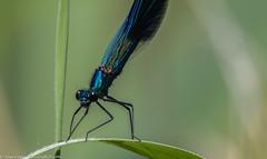 9Q6A4886 (2) (Alinbidford) Tags: alancurtis alinbidford bandeddemoisellemale brandonmarsh damselfly nature wildlife