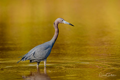 On Golden Pond (craig goettsch - out shooting) Tags: sanibel2018 baileytract littleblueheron heron bird avian wildlife nature nikon d850
