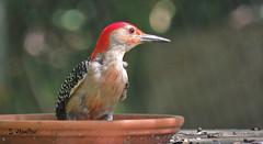 Messy Woodpecker (Suzanham) Tags: redbelliedwoodpecker woodpecker bird feeder profile mississippi