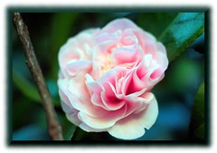 Camellia - Canon EOS Rebel 300D with Vivitar 55 mm 1:2.8 Auto Macro Prime (Olympus OM Mount with Fotodiox OM-EOS Adapter) (Logos: The Art of Photography) Tags: bowenpark camellia canoneosrebel300d vivitar55mm128automacroprime olympusommount fotodioxomeosadapter bokeh vintageprime vintage vivitar55mm 55mm flower