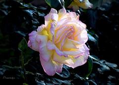 Transparencia (Anavicor) Tags: rose rosa transparency transparencia transparente quintaflower juevesdeflores anavillar anavicor villarcorreroana macro