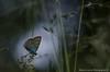 Azuré (Manonlemagnion) Tags: papillon azuré nature sauvage insecte animal macro bokeh nikond7000 105mm28