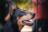 Elder smile (zola.kovacsh) Tags: outdoor animal pet dog doberman pinscher dobermann club show