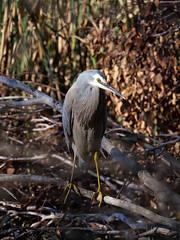 White-faced Heron (James_Preece) Tags: ardeidae m43 heron whitefacedheron egrettanovaehollandiae panasoniclumixdcgh5 leicadgvarioelmar100400mmf463asphpoweroislens