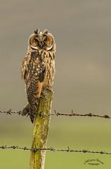 Long eared owl. (wayne24185071) Tags: long eared owl longeared longearedowl bird raptor asiootus prey hunter wings redeyes meadow barbedwire cano1dx sigma150600
