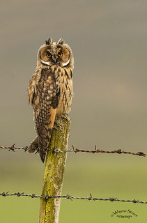 Long eared owl.