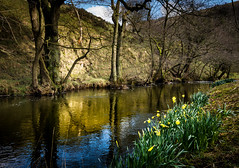 riverbank (Phil-Gregory) Tags: nikon naturalphotography naturephotography national nationalpark nature iamnikon d7200 tokina tokina1120mmatx trees tree river reflections reflection dovedale dove peakdistrict hartington milldale staffordshire derbyshire daffodyls flowers