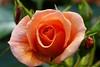 Roos (DirkVandeVelde back in July) Tags: europa europ europe belgie belgium belgica belgique buiten flora flower fleur roos antwerpen anvers antwerp mechelen malines malinas sony garden tuin jardin