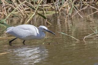 Little Egret (Egretta garzetta) hunting