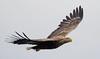 White Tailed Sea Eagle, Mull (irelaia) Tags: white tailed sea eagle mull scotland wild bird fish