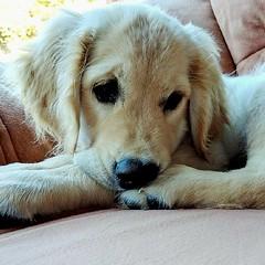 Pup on sofa (Kol Tregaskes) Tags: koltphotography photo photography photooftheday pic picoftheday picture pictureoftheday