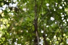 Nephila pilipes (Miriam Christine) Tags: nephilapilipes spider species identify id female web mottled forest woodland rainforest sinharaja wildlife reserve nature srilanka natural