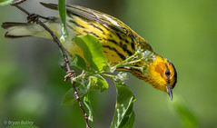 Cape May Warbler (bbatley) Tags: warbler capemay