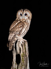 Tawny Owl (Ian howells wildlife photography) Tags: ianhowells ianhowellswildlifephotography wildlife wales wildlifephotography wildbird wild wildbirds tawnyowl tawny nature owl naturephotography unitedkingdom